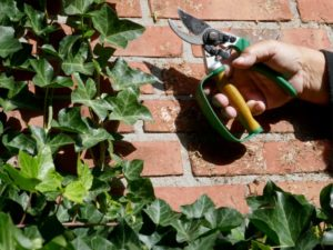 Ivy removal performed on a brick wall by using clippers