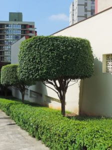 Trees next to a building trimmed into round shapes