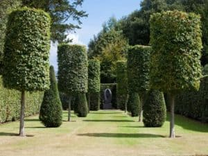 Tree shaping or topiary performed on hedges and trees which stand in two rows
