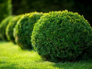 Nicely trimmed boxwood plants in a row