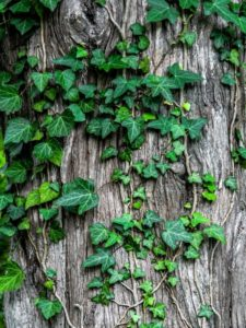 Ivy on a tree trunk in Hull