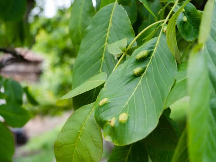 Tree leaves with insect disease