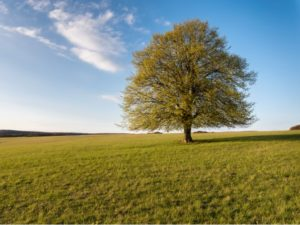 A large tree in a grass field