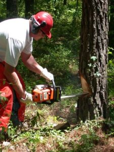 A Hull tree expert removing a tree by sawing a notch cut in a tree