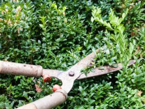 A lopper being used to trim a hedge