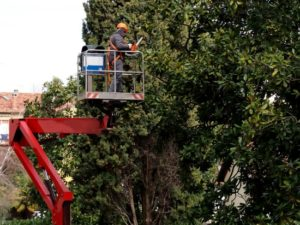 Crown trimming performed by a tree surgeon in Hull on a large tree using a cherry picker