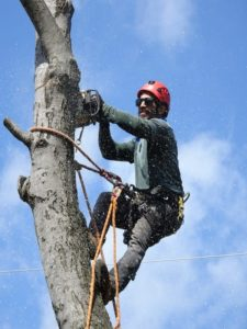 A tree surgeon in a tree using section felling to remove it